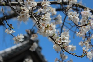 日泰寺傍の桜