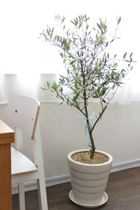 覚王山ハウスの窓辺にあるオリーブの木